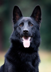portrait dog black german
