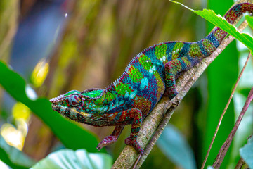 Printed kitchen splashbacks Bestsellers colorful young chameleon on a branch, motley chameleon from Madagascar
