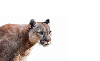Printed kitchen splashbacks Puma Portrait of Beautiful Puma. Cougar, mountain lion, isolated on white backgrounds