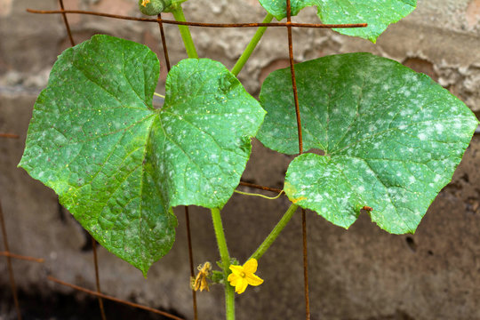 Cucumber leafs with white powdery mildew. Plant disease