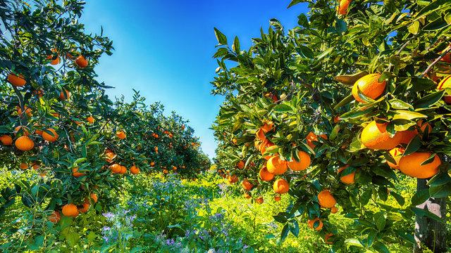 Ripe oranges on tree in orange garden.
