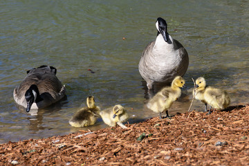 Wall Mural - Newborn Goslings Learning Under the Watchful Eye of Mother and Father