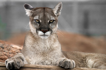 Mountain lion with paws on wood staring at the camera.