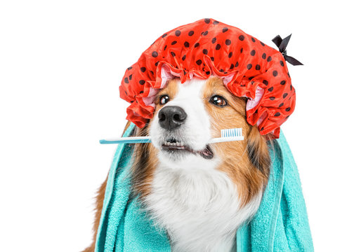 Portrait of a funny red dog. She is sitting in a towel and red shower cap, and is holding a toothbrush. The background is isolated.