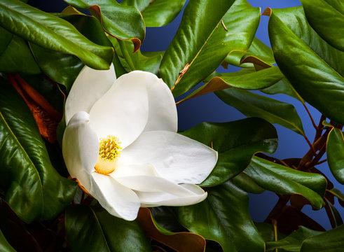 white magnolia flower closeup in a tree with a blue background