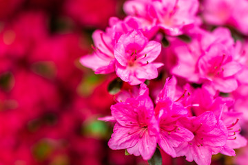 Foto op Plexiglas Roze Macro closeup of pink red rhododendron flowers closeup of texture with green leaves in garden park in Washington, DC