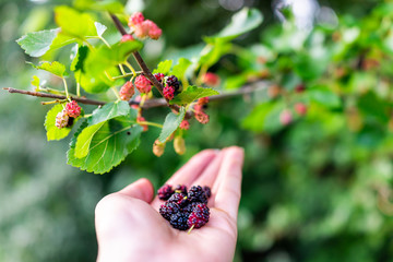 Hanging black and red ripe mulberries ripening on plant bush garden farm with woman hand picking holding fruit