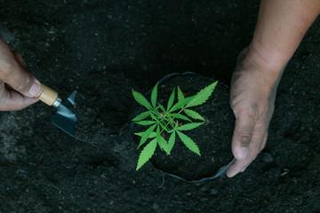 Cultivating fertilizing seedling, marijuana Earth Day is environmentally friendly.