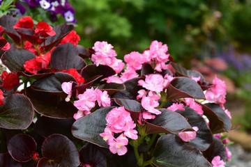 八重咲きのベゴニアの鉢
