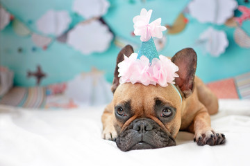 Cute small female French Bulldog dog lying down on ground with pink birthday hat and baby blue party background