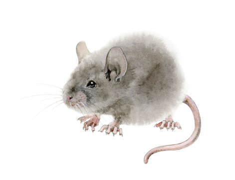 Watercolor mouse (rat) illustration. Hand drawn illustration of a cute fluffy gray mouse rat with pink ears and small tail, isolated on white background