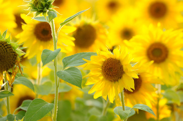 sunflower flower beautiful landscape agriculture