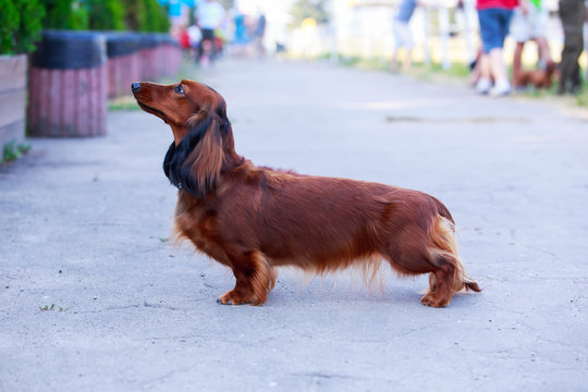 Dog breed long haired dachshund