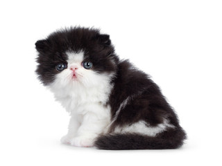 Cute few weeks old, very young black and white Persian cat ktten. Sitting side ways, looking at camera with round and still blue eyes. Isolated on white background.