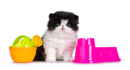 Cute few weeks old, very young black and white Persian cat ktten. Sitting betweem beach toys, looking at camera with round and still blue eyes. Isolated on white background.