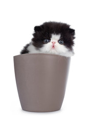 Cute few weeks old, very young black and white Persian cat ktten. Sitting in brown flower pot, looking at camera with round and still blue eyes. Isolated on white background.