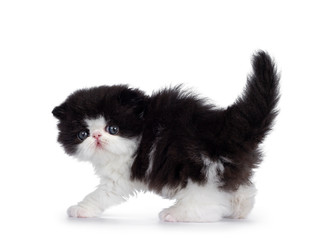 Cute few weeks old, very young black and white Persian cat ktten. Standing side ways in attack pose, looking at camera with round and still blue eyes. Isolated on white background.