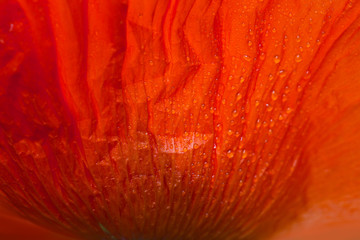 Close up of red poppy petal in the sunlight. Selective focus.