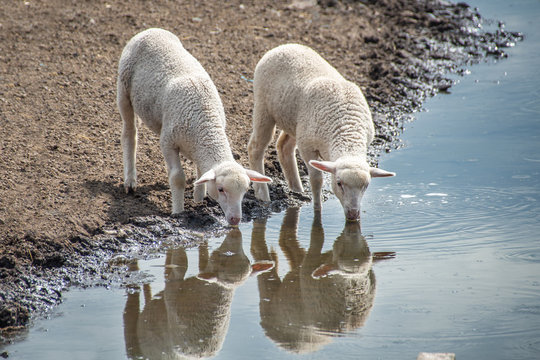 Two little lamb drink water reflection