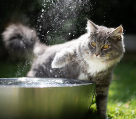 young blue tabby maine coon cat playing with water in a metal bowl outdoors in the garden on a hot and sunny summer day