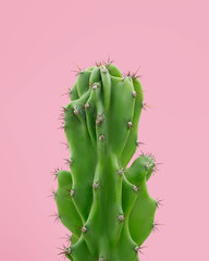 Cactus on a pink background. Cacti succulents poster