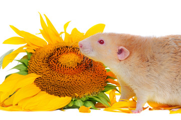 Closeup portrait of a rat with red eyes at the sunflower background