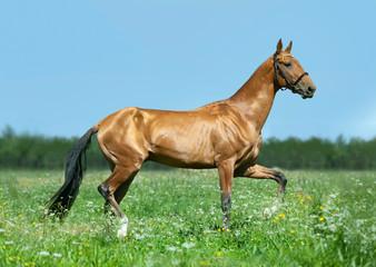 golden akhal-teke horse runs free outdoors