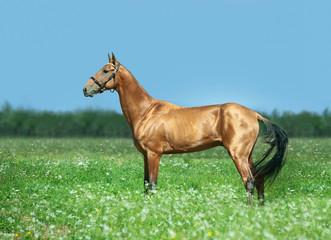 golden bay akhal-teke stallion in summer field