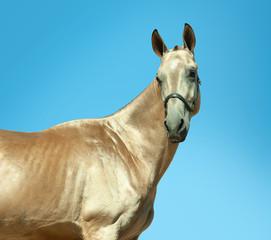 golden buckskin akhal-teke horse portrait outdoors