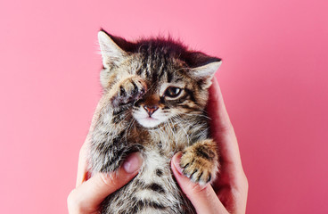 Cute little kitten posing in female palms over pink background. Isolated