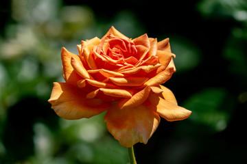 colourful close up of a single ashram floribunda rose head