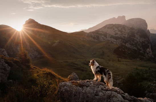 dog on the mountain at sunset. Travelling with a pet, Hiking. Australian shepherd in nature