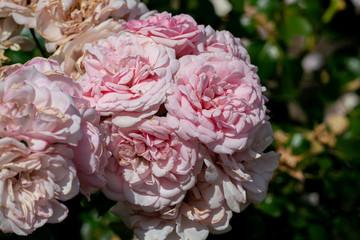 colourful close up of several home&garden floribunda rose heads