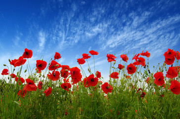 Foto op Canvas Poppy Red poppies on field