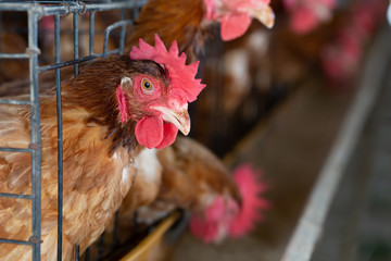 Chicken in the factory, Hens in cages industrial farm in Thailand, Animal and agribusiness, Food...