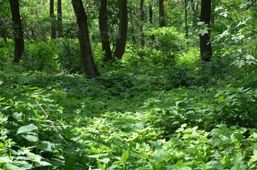 W lesie liściastym wczesną wiosną - bujna zielna roslinnosć