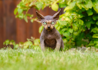Young Devon Rex domestic cat, male kitten nearly hairless, sitting in a grass meadow in a garden and looking with wide green eyes and large jutting ears