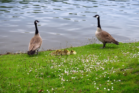 Two geese with a group of small goose chicks in the grass at the border of the lake