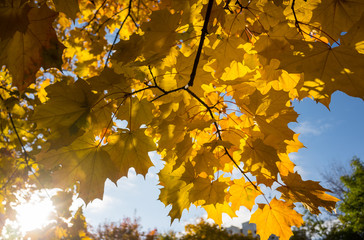 Yellow leaves on blue sky background
