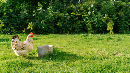 Photo sur Aluminium Poules hen feeding in the farm yard. white hen stands on grass in garden and looking at camera. free-range chicken.
