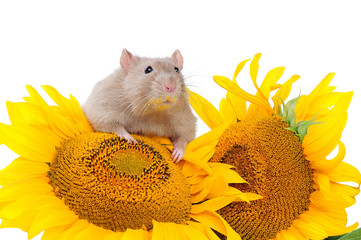 Close-up portrait of a domestic rat sitting on sunflowers