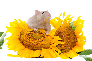 Pretty rat sitting on the sunflowers in a white background