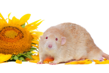 Funny rat with red eyes at the sunflower background