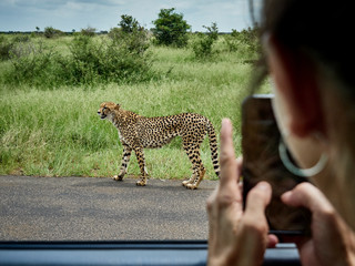 South Africa, Mpumalanga, Kruger National Park, woman taking cell phone picture of cheetah out of a car
