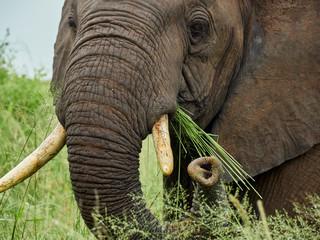 South Africa, Mpumalanga, Kruger National Park, close-up of eating elephant