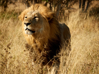 Africa, Botswana, Ihaha, Chobe National Park, Male lion in the savannah