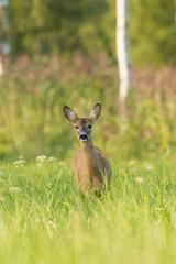 Female Roe deer (Capreolus capreolus)
