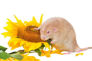 Red eyed rat holding paw on the sunflower head