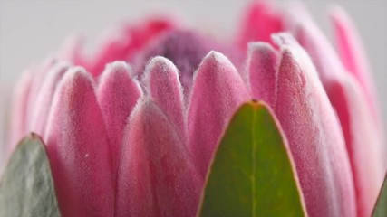 Fotoväggar - Protea bud closeup. Pink King Protea flower rotation. Slow motion 4K UHD video footage. 3840X2160