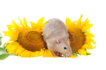 Grey domestic rat sitting between two sunflowers